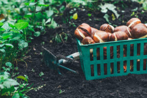 Fall Bulbs for Spring Color @ Jared's Nursery, Gift and Garden